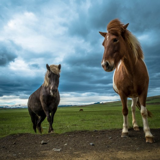 Iceland post 2 horses come to visit